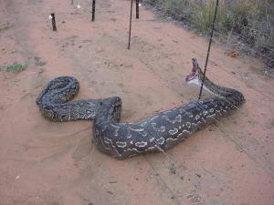 Anaconda_2